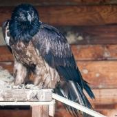 Gypaète barbu juvenile (centre d'élevage)