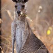 Kangourou (Queensland - Australie)