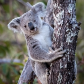 Koala à Magnetic Island (Queensland - Australie)