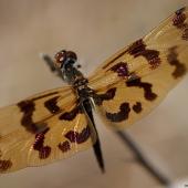Libellule Rhyothemis graphiptera (Queensland - Australie)