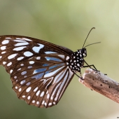 Papillon blue tiger (Queensland - Australie)