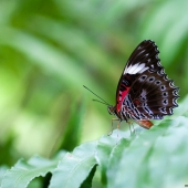 Papillon Red Lacewing Cacatoes (Queensland - Australie)