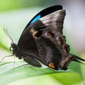 Papillon Ulysse (Queensland - Australie)