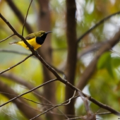 Souimanga à dos vert (Queensland - Australie)
