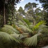 Forêt pluviale (Queensland - Australie)