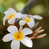 Frangipanier (Queensland - Australie)