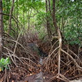 Mangrove  (Queensland - Australie)