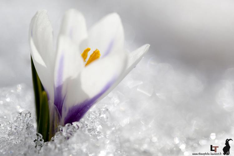 Crocus_blanc