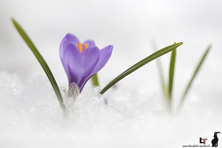 Crocus_violet