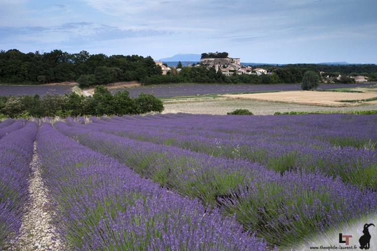 Grignan, lavandes sur fond de Mont Ventoux