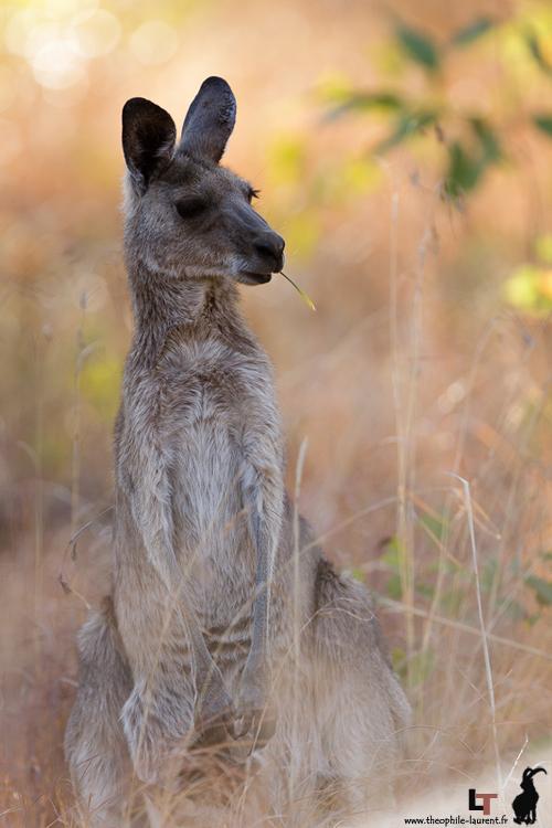 Kangourou - Queensland Australie