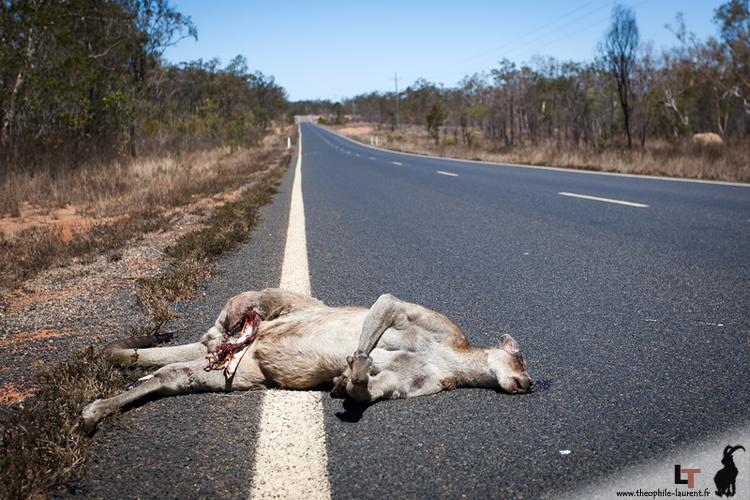 Kangourou tué sur une route - Queensland Australie
