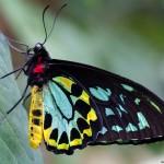 Cairns Birdwing (captivité)