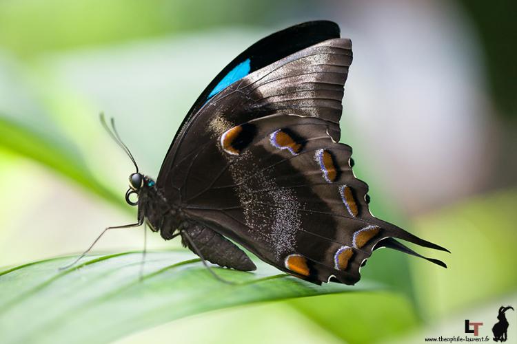 Papillon Ulysse, emblême du Queensland (captivité)