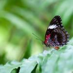 Red lacewing (captivité)