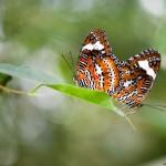 Couple d'Orange lacewing (captivité)