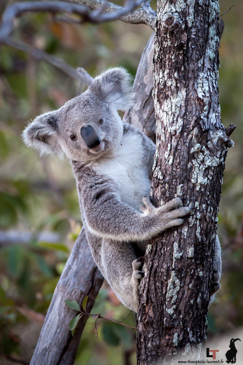 Koala (Queensland - Australie)