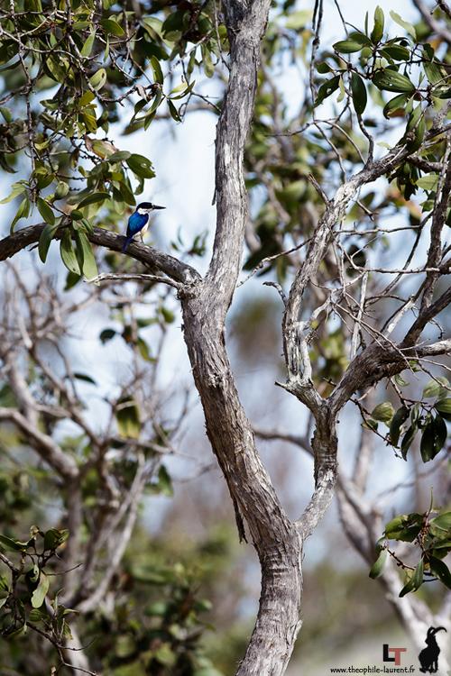 Martin chasseur sacré (Queensland - Australie)