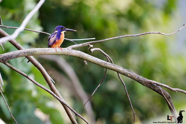 Martin pêcheur à dos bleu (Queensland - Australie)