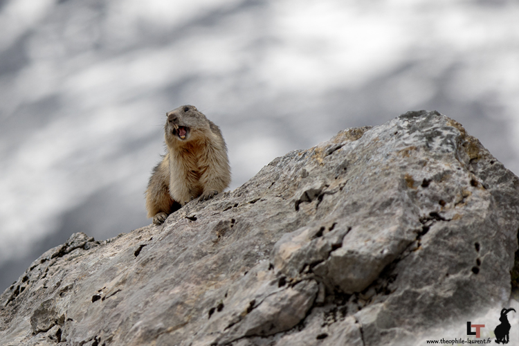 Marmotte@THEOPHILE_Laurent-3 copie