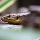 Bellatorias frerei (Queensland - Australie)
