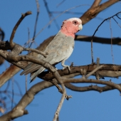 Cacatoes rosalbin (Queensland - Australie)