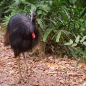 Casoar à casque (Queensland - Australie)