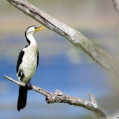Cormoran pie (Queensland - Australie)