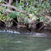 Crocodile (Queensland - Australie)