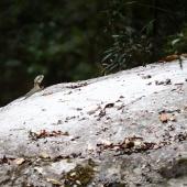 Lezard fier (Queensland - Australie)