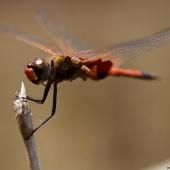 Libellule (Queensland - Australie)