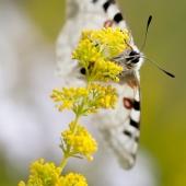 Papillon_Apollon_Vercors_Laurent_THEOPHILE-2