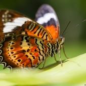 Papillon (Queensland - Australie)