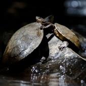 Tortues d'eau douce (Queensland - Australie)