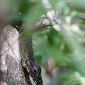 Varan (Queensland - Australie)