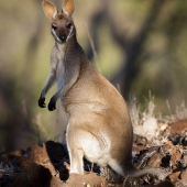 Wallaby de Parry (Queensland - Australie)