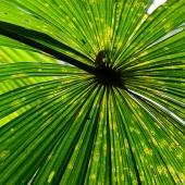 Feuille Licuala ramsayi (Queensland - Australie)