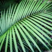 Feuille de palmier (Queensland - Australie)