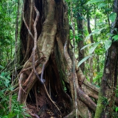 Figuier étrangleur (Queensland - Australie)