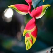 Heliconia rostrata (Queensland - Australie)