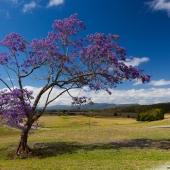 Jacaranda (Queensland - Australie)