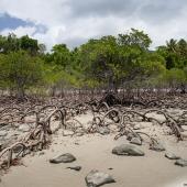 Palétuvier, arbres rois de la mangrove (Queensland - Australie)